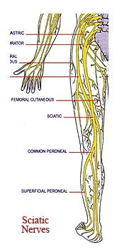 Sicatic Nerves